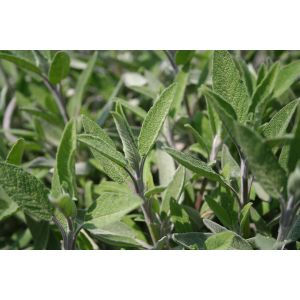Salbeiöl bio Salvia officinalis