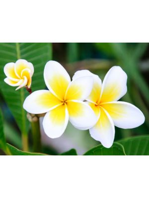 Frangipani Absolue 10:90 in Jojoba